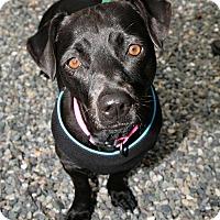 Adopt A Pet :: Lucy - Bellingham, WA
