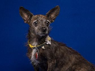Chihuahua Mix Dog for adoption in League City, Texas - Coco