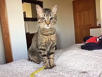 Domestic Shorthair Cat for adoption in charlottesville, Virginia - Sherlock Holmes