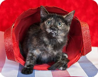 Calico Kitten for adoption in Muskegon, Michigan - Hermione