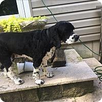 Adopt A Pet :: Misty - Pompton Lakes, NJ