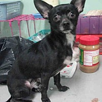 Adopt A Pet :: PEE WEE - Fort Walton Beach, FL