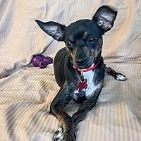 Adopt A Pet :: Dharma - St Helena, CA