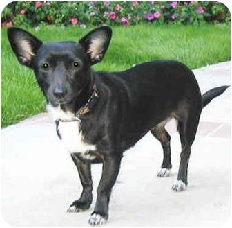 Dachshund/Chihuahua Mix Dog for adoption in Marina del Rey, California - Gina