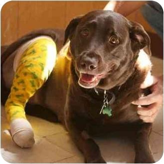 Labrador Retriever Dog for adoption in Denver, Colorado - Coco