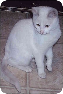Domestic Shorthair Cat for adoption in Owatonna, Minnesota - Snowflake