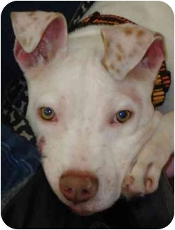 American Pit Bull Terrier/Pit Bull Terrier Mix Puppy for adoption in Chicago, Illinois - Ducky
