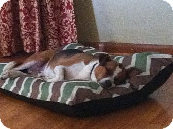 Jack Russell Terrier/Beagle Mix Dog for adoption in Brattleboro, Vermont - Jake