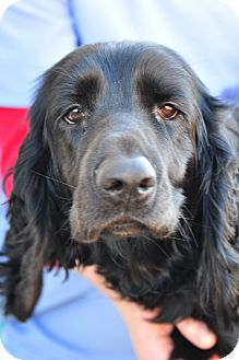 Field Spaniel Dog for adoption in New Canaan, Connecticut - Floyd