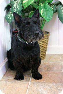 Scottie, Scottish Terrier Dog for adoption in Manahawkin, New Jersey - McDuff