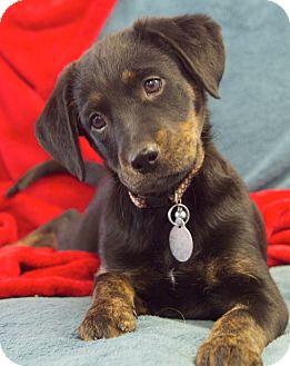 Labrador Retriever Mix Puppy for adoption in Nashville, Tennessee - Andrea
