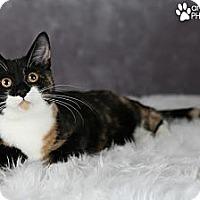 Adopt A Pet :: Chantilly Lace - Eagan, MN