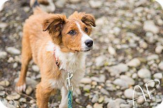 Border Collie Mix Puppy for adoption in Bella Vista, California - Sully