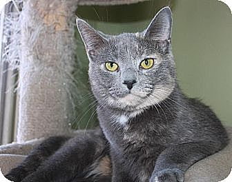 Domestic Shorthair Cat for adoption in Stevensville, Maryland - Nicole