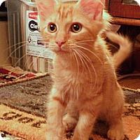Adopt A Pet :: Daffy - Bedford, MA