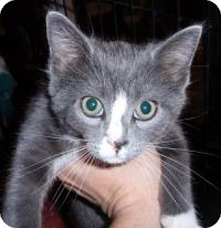 Domestic Shorthair Cat for adoption in East Brunswick, New Jersey - Ray