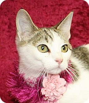 Domestic Shorthair Cat for adoption in Jackson, Michigan - Gidget