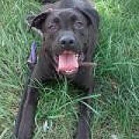 Labrador Retriever Mix Dog for adoption in Stafford, Virginia - Spice
