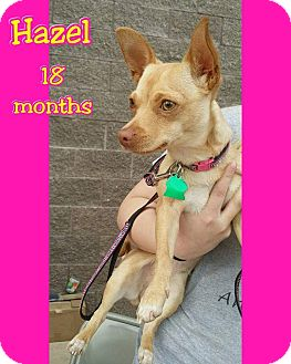 Chihuahua Mix Dog for adoption in Mesa, Arizona - Hazel