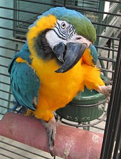 Macaw for adoption in Edgerton, Wisconsin - Woody