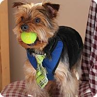 Adopt A Pet :: Indy - Rigaud, QC