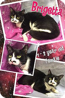 Domestic Shorthair Cat for adoption in Lexington, North Carolina - BRIGETTA