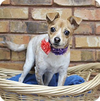 Chihuahua/Terrier (Unknown Type, Small) Mix Dog for adoption in Benbrook, Texas - Lola