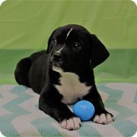 Adopt A Pet :: Romeo - Oviedo, FL