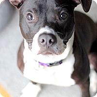 Adopt A Pet :: Bellatrix - Reisterstown, MD