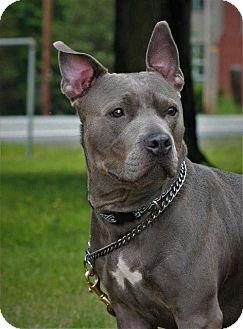 Pit Bull Terrier Dog for adoption in Port Jervis, New York - Sterling