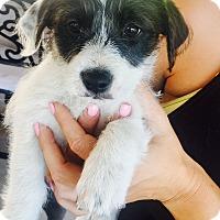 Adopt A Pet :: Sienna - Newport Beach, CA