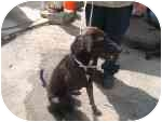 Labrador Retriever Mix Dog for adoption in Bridgewater, Connecticut - LadyBird