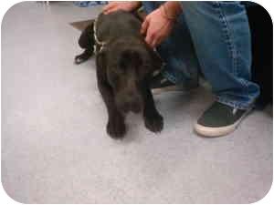 Labrador Retriever Mix Dog for adoption in Greenville, North Carolina - Jackson
