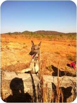 German Shepherd Dog Dog for adoption in Roswell, Georgia - Hope