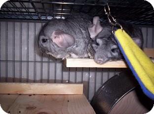 Chinchilla for adoption in Avondale, Louisiana - Cheech & Josephina