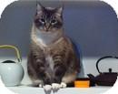 Domestic Mediumhair Cat for adoption in Vancouver, British Columbia - Gustav