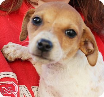 Terrier (Unknown Type, Small) Mix Puppy for adoption in Chapel Hill, North Carolina - Pixie