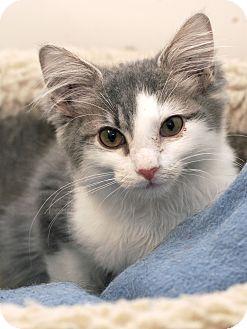 Domestic Mediumhair Kitten for adoption in Marietta, Georgia - Ash