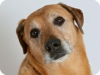 Labrador Retriever/German Shepherd Dog Mix Dog for adoption in San Andreas, California - Glory