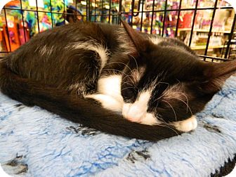 Domestic Shorthair Kitten for adoption in The Colony, Texas - Charlie