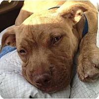 Adopt A Pet :: Envy - Orlando, FL