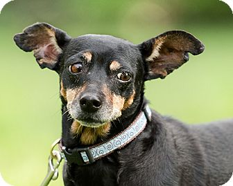 Miniature Pinscher Mix Dog for adoption in Wilmington, Delaware - Elda