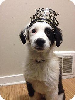Border Collie/Great Pyrenees Mix Puppy for adoption in Regina, Saskatchewan - Bumble