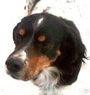 English Springer Spaniel Dog for adoption in Minneapolis, Minnesota - Winslow