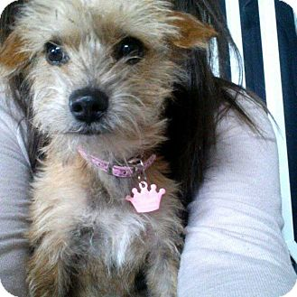 Yorkie, Yorkshire Terrier/Maltese Mix Puppy for adoption in Inland Empire, California - PENELOPE