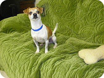 Chihuahua Dog for adoption in Buchanan Dam, Texas - Porkchop