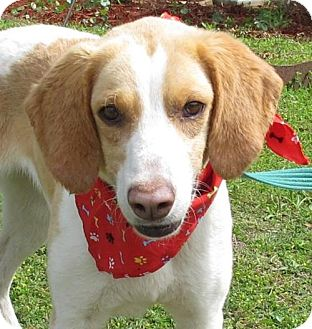 Foxhound Dog for adoption in Port St. Joe, Florida - Honey-DAWGS
