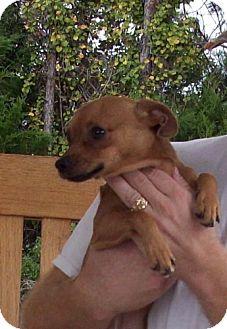 Chihuahua Mix Dog for adoption in Port St. Joe, Florida - Taquito