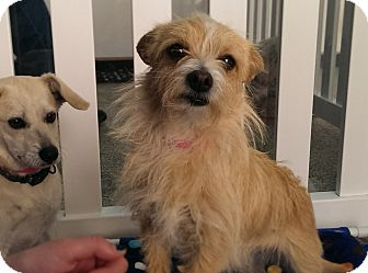 Terrier (Unknown Type, Small) Mix Dog for adoption in Thousand Oaks, California - Tulip