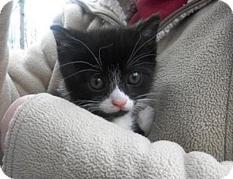 Domestic Shorthair Kitten for adoption in Manitowoc, Wisconsin - *Kitten 4*